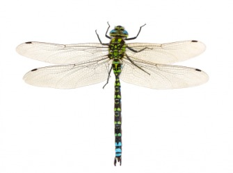The dragonfly is sometimes called the devil's darning needle.