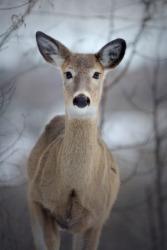 A female deer is a doe.