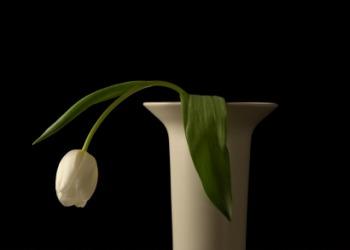 A drooping tulip.