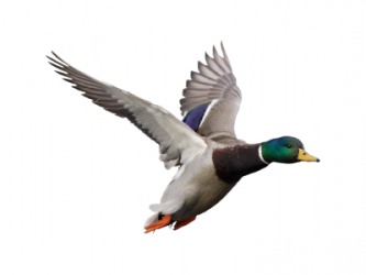A Mallard duck in flight.