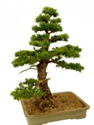 This bonsai is a dwarfed larch tree.