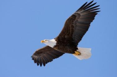 An eagle in flight.
