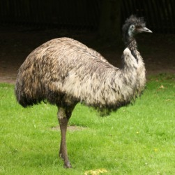 A large male emu.