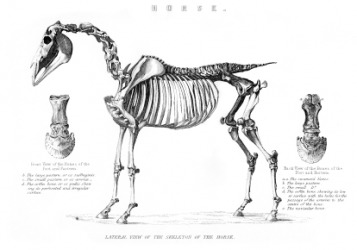 The endoskeleton of a horse.