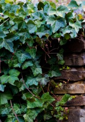 English ivy growing on a stone wall.
