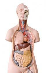 A model of a human torso revealing the entrails.