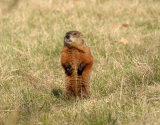 A groundhog standing erect.