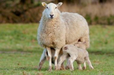 Ewe dictionary definition | ewe defined