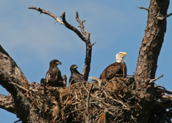 Young aeries, or baby eagles in their nest with mother eagle.