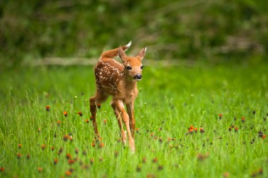 A young fawn.