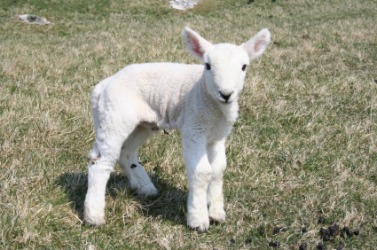 A feeble newborn lamb.