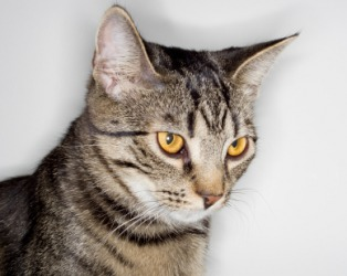 A domestic feline.