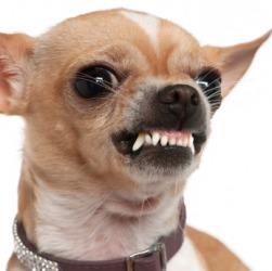 A dog shows his ferocity.