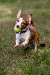 A dog fetches a ball.