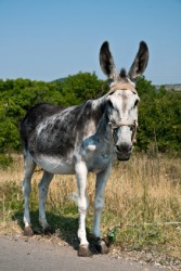 A jackass,  ass, or donkey.