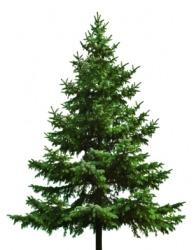 A fir tree.