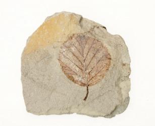 A leaf fossil.
