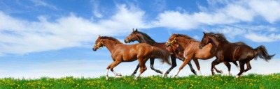 A herd of horses gallops.