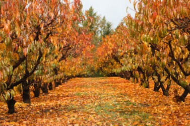 An orchard in autumn.
