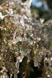 A shrub glistening with ice.