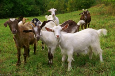 A small herd of goats.