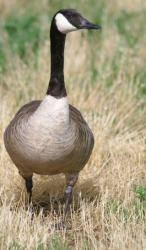 A Canadian goose.