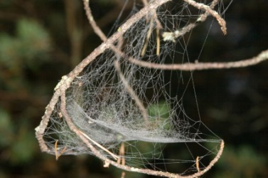 A gossamer cobweb.