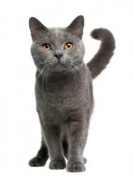 A gray cat.
