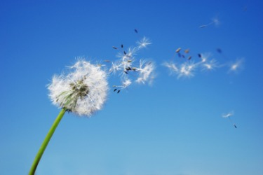 A gust of wind disperses dandelion seeds.