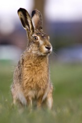 A brown hare sits in a field.