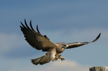 hawk dictionary definition hawk defined