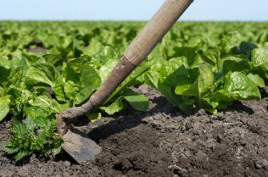 A hoe in a lettuce field.