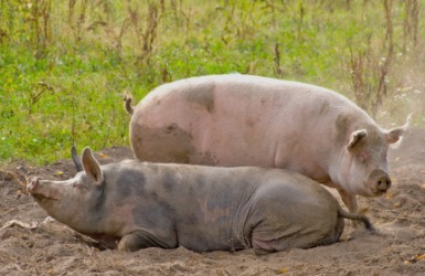 A pair of hogs.