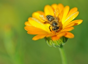 A honey bee on a marigold.