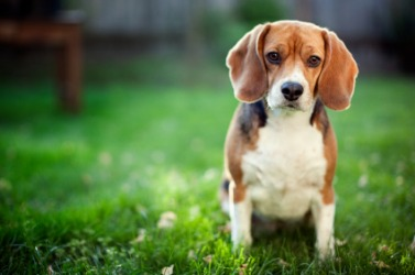 A cute Beagle hound puppy.