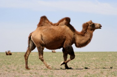 A camel with two humps.