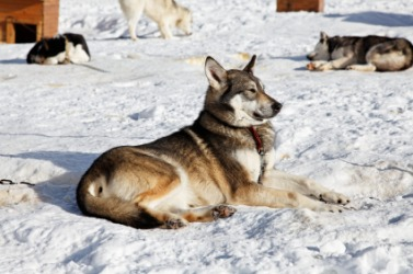A husky relaxing in the snow.