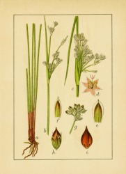 An antique illustration of plants.