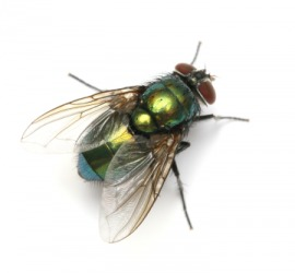 A fly is one type of insect.