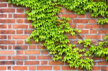 Ivy on a brick wall.