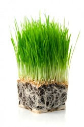 Wheat grass gets its nutrients from these roots.
