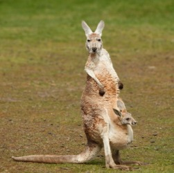 A mother kangaroo with her joey in her pouch.