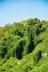 Trees covered by the Kudzu weed.