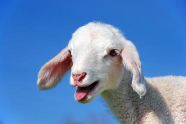 A baby lamb bleats.
