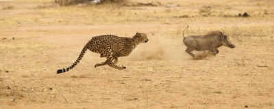 The cheetah is very fast.