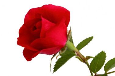 An individual rose.