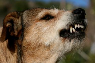 A dog growls.