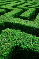 A labyrinth made by carefully trimmed hedges.