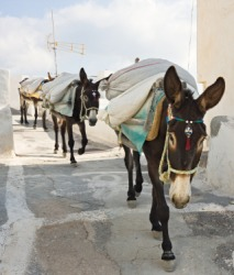 Laden pack mules.