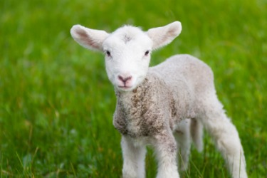 A cute little lamb.